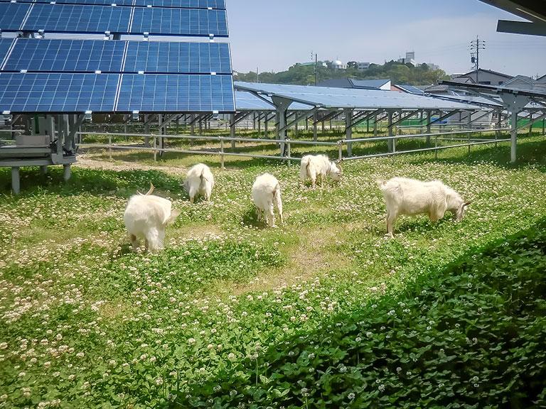 蒲郡市太陽光発電所(ヤギ放牧による防草対策)